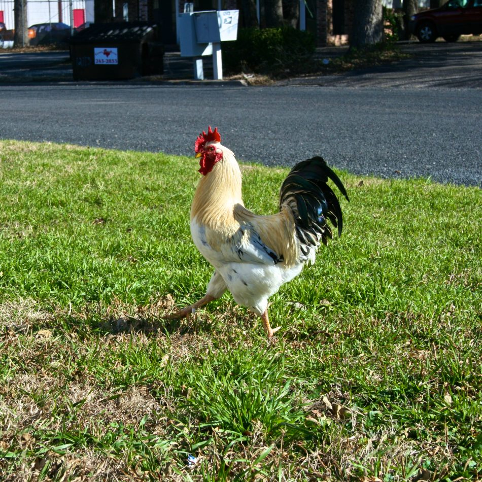 City Street Cock